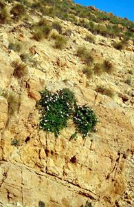 Capparis spinosa, planta-hôte, Tamayoust, Moyen Atlas central