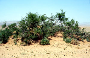 Niche écologique en steppe désertique, Goulmima, Tafilalet