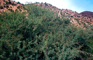 Acacia gummifera, l'un des Acacias-hôtes