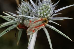 Z. aurata toubkalensis (Haut Atlas central)