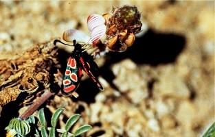 Z. orana oberthueri (Anti-Atlas oriental)