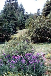 Biotope du Nord, Djebel Tarharhat, sur Vicia tenuifolia