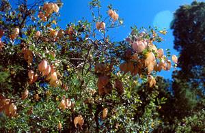 Colutea atlantica, plante-hôte
