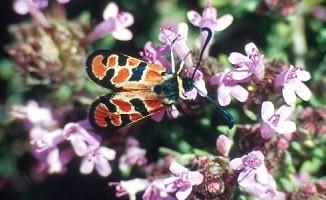 Z. beatrix ouzlii (Rif oriental)
