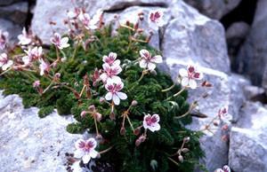 Erodium cheilanthifolium, plante-hôte