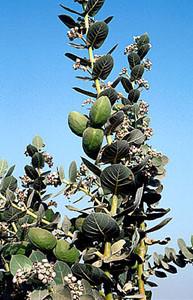 Calotropis procera, plante-hôte présaharienne, Aït-Baha, Anti-Atlas sud-occidental