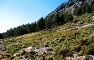 Biotope forestier du Nord à ssp. albovenosa, Djebel Kelaa, Rif occidental
