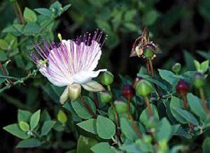 Capparis spinosa, inflorescence, Haut Atlas oriental