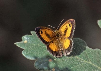 P. tithonus distincta, mâle, Ketama, Rif central, juillet 1999