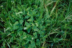 Aristolochia longa paucinervis, plante-hôte, Azrou