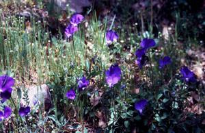 Viola munbyana, plante-hôte dans le Rif