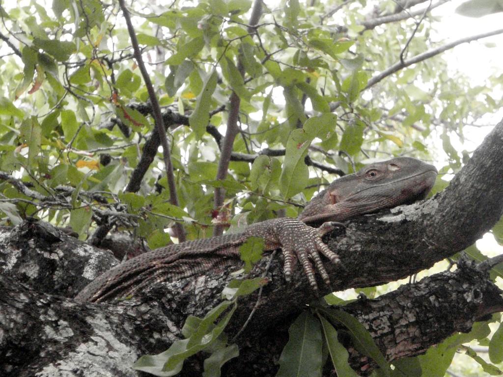 Iguane, Mwabi Game Reserve, Bangula, Malawi