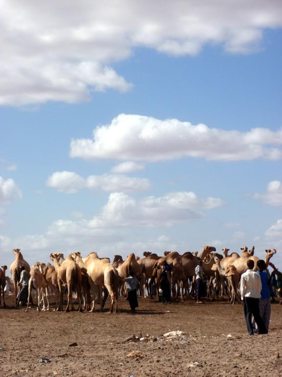 Puit d'eau et dromadaires, Wajir, désert somalien, Kenya