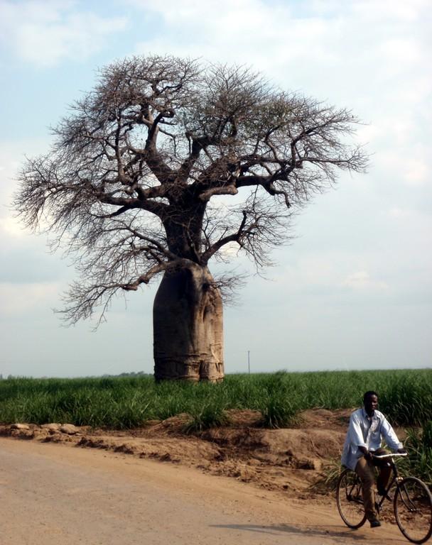 Baobab en direction de Bangula, Malawi