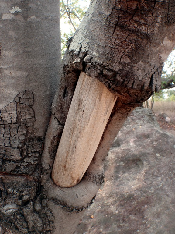 Arbre sans écorce, Mwabi Game Reserve, Bangula, Malawi