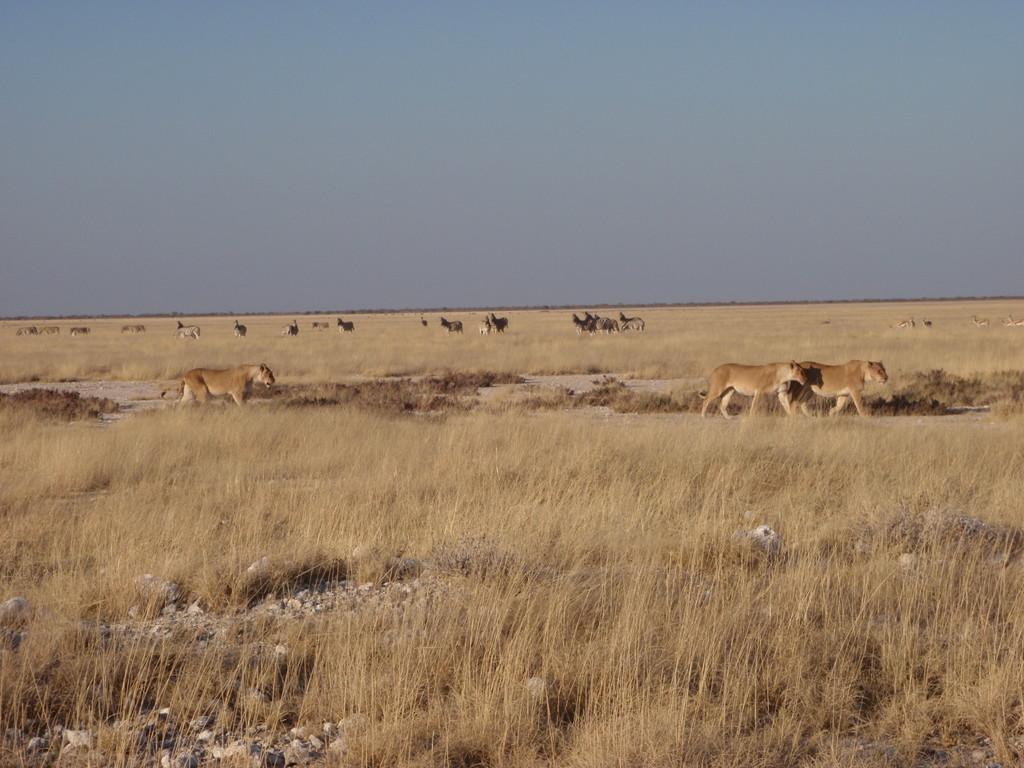 Lionnes de retour de chasse, Etosha National Park, Namibie