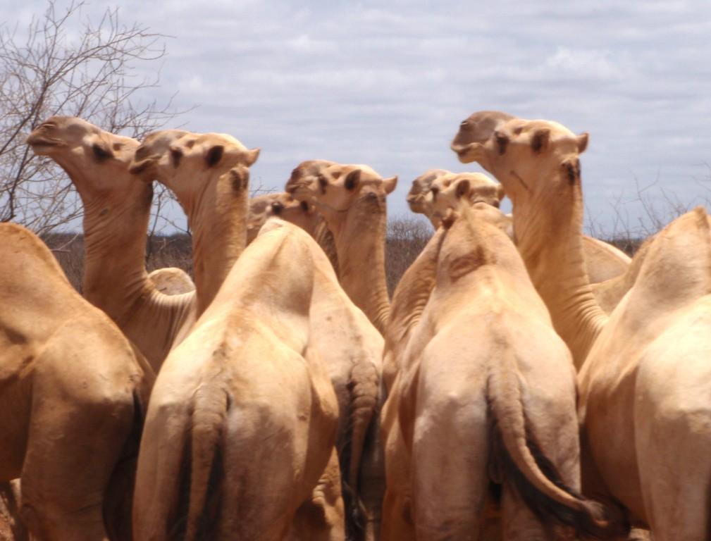Dromadaires, en direction de la Somalie, Kenya