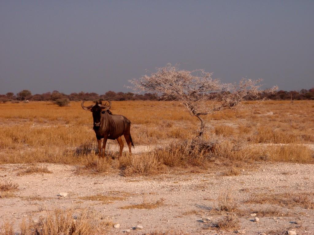 Gnou, Etosha National Park, Namibie