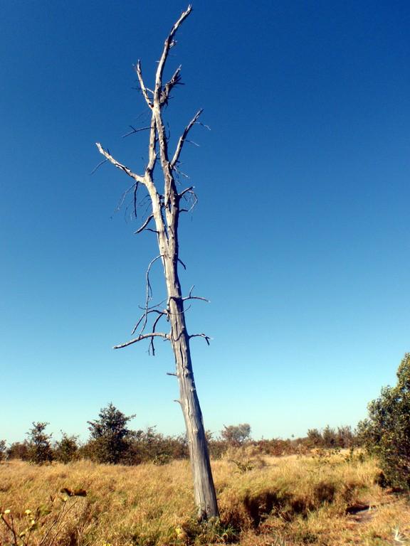 Arbre mort, Delta de l'Okavango, Botswana