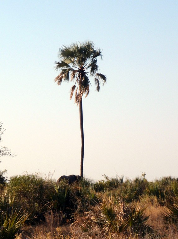 Eléphant secouant un arbre fruitier, Delta de l'Okavango, Botswana