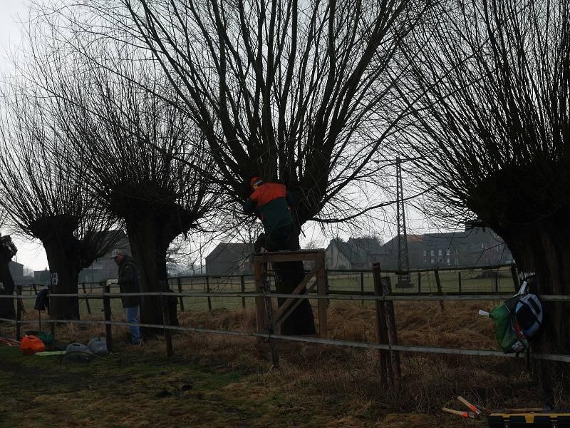 Kopfbaumschnitt  zum ansiedeln von Pilzen, Farnen, Flechten ...