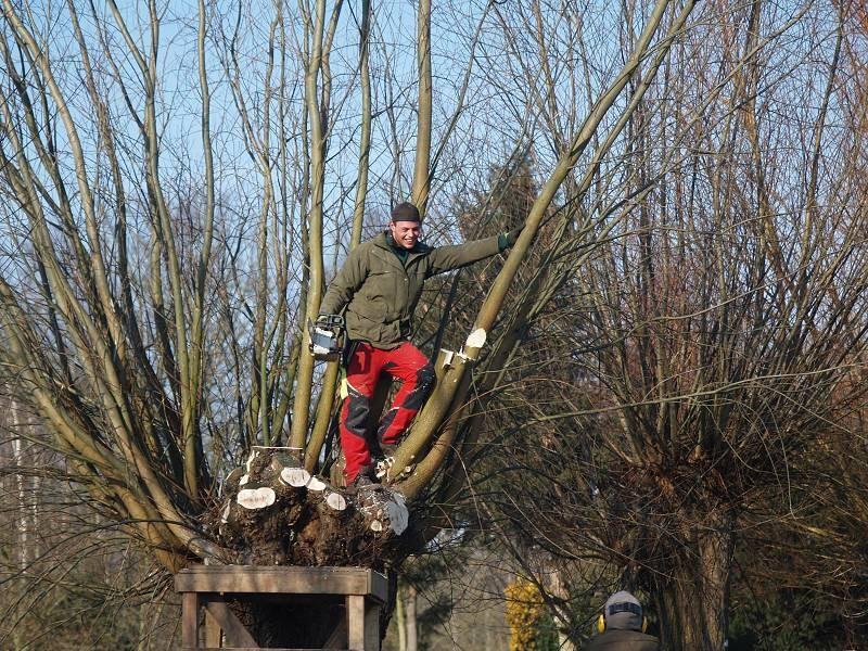 Kopfbaumschnitt   als alte Holznutzungsform