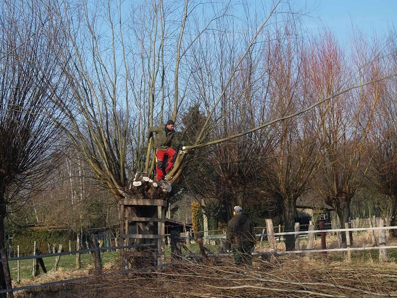 Kopfbaumschnitt  zum schaffen neuer Lebensräume für Tiere
