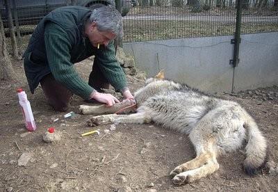 Prise de sang d'un loup