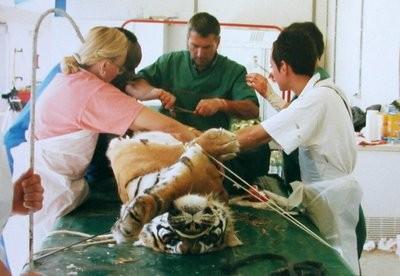 Césarienne pratiquée sur une tigresse