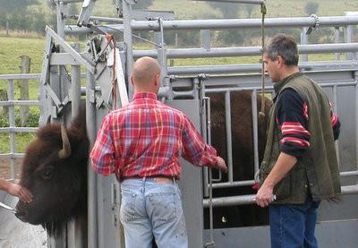 Contention de bisons américains