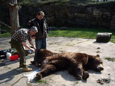 Castration d'un ours