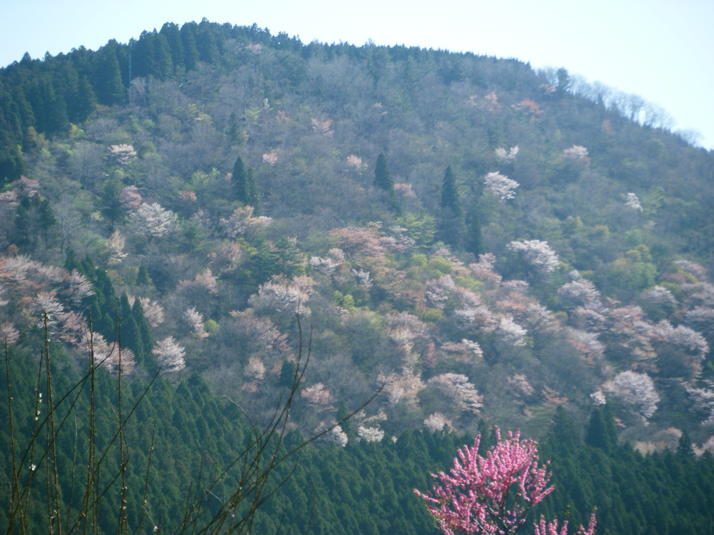 大峯山洞川にやっと桜の季節が訪れました。桜の大原山を望む。           2012.4.24