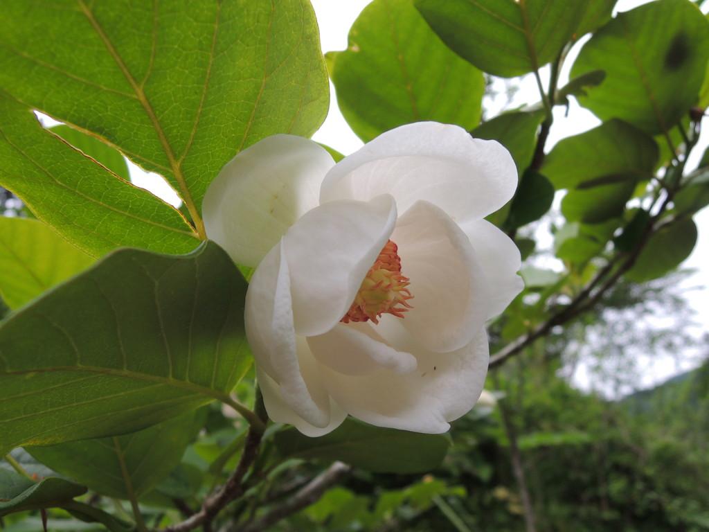 奥山にひっそりと咲く、オオヤマレンゲ。神秘的な感じが大峯山にぴったりです。   2011.6.19