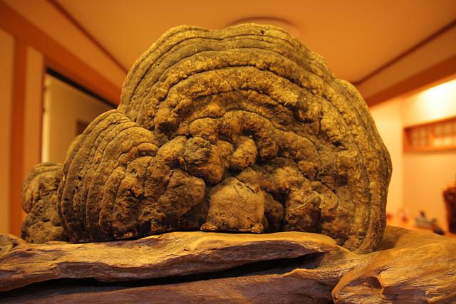 かつて近くの山で採集したサルノコシカケ