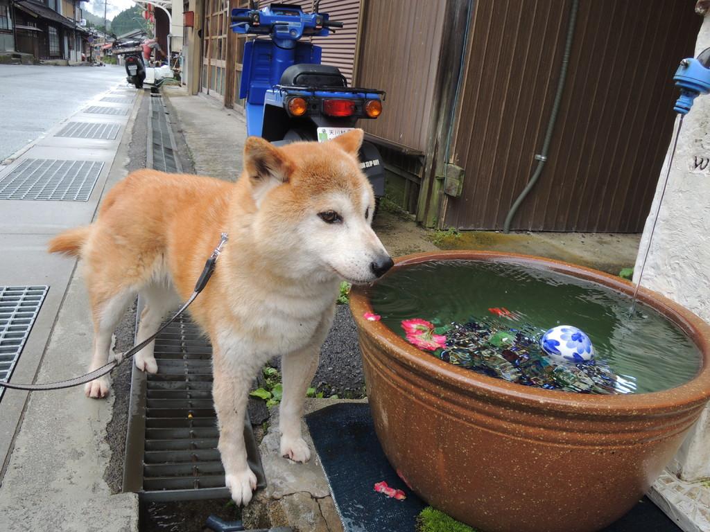 朝のお散歩のあとに冷たい石清水に舌鼓を打つ愛犬