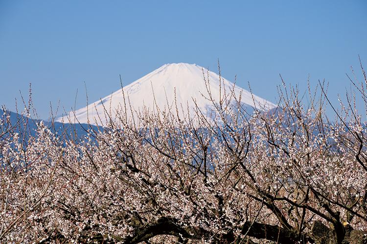 富士山を望む絶景の曽我別所梅林。
