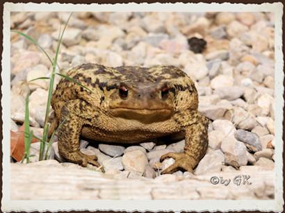 03.08.2010 Frosch ohne Krone ;-)