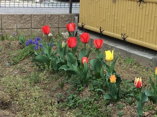 チューリップの花【西賀茂】