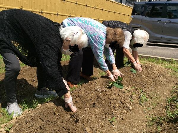 芋の苗植え【西賀茂】