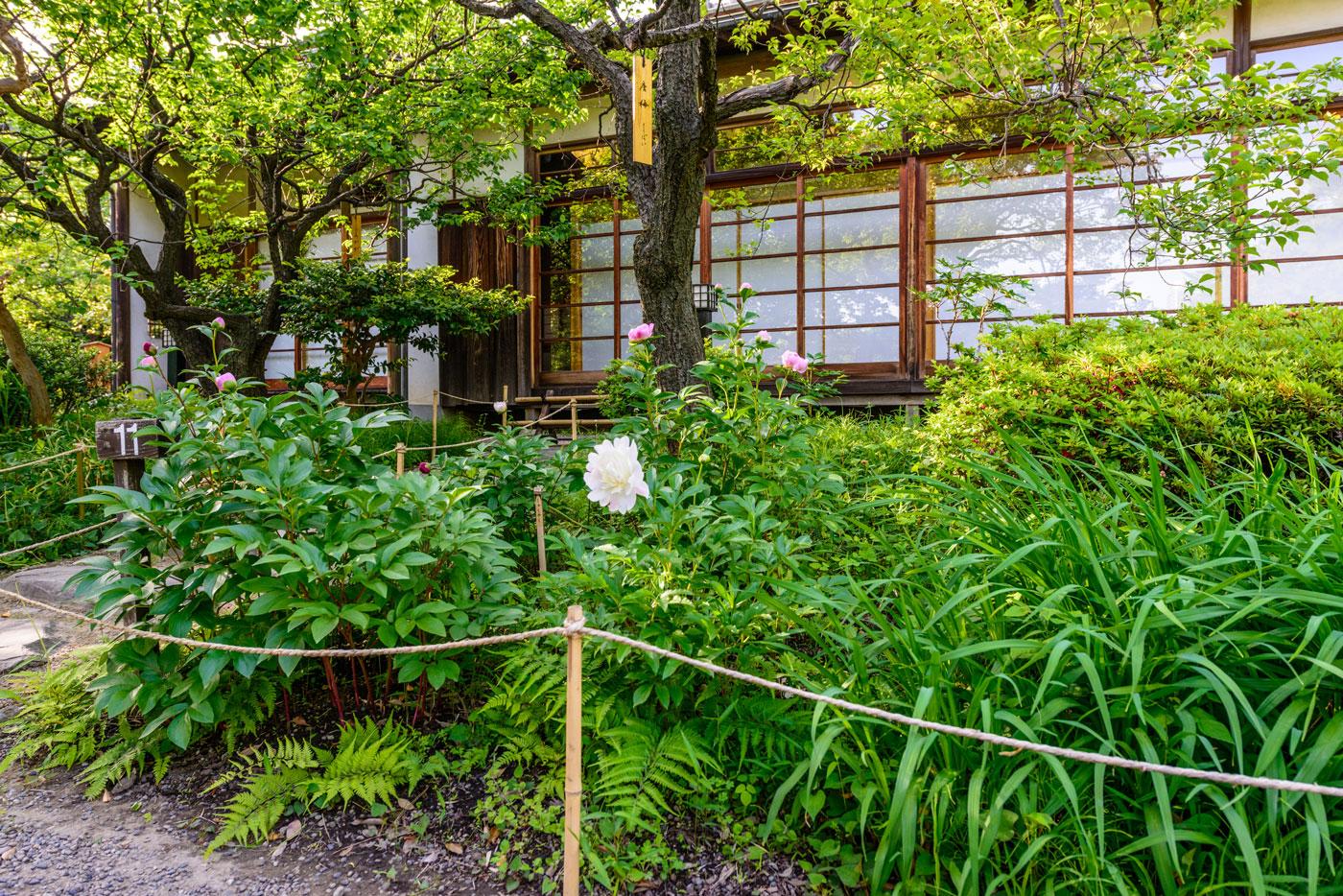 都立向島百花園5(「御成座敷」のシャクヤクが開花していました)