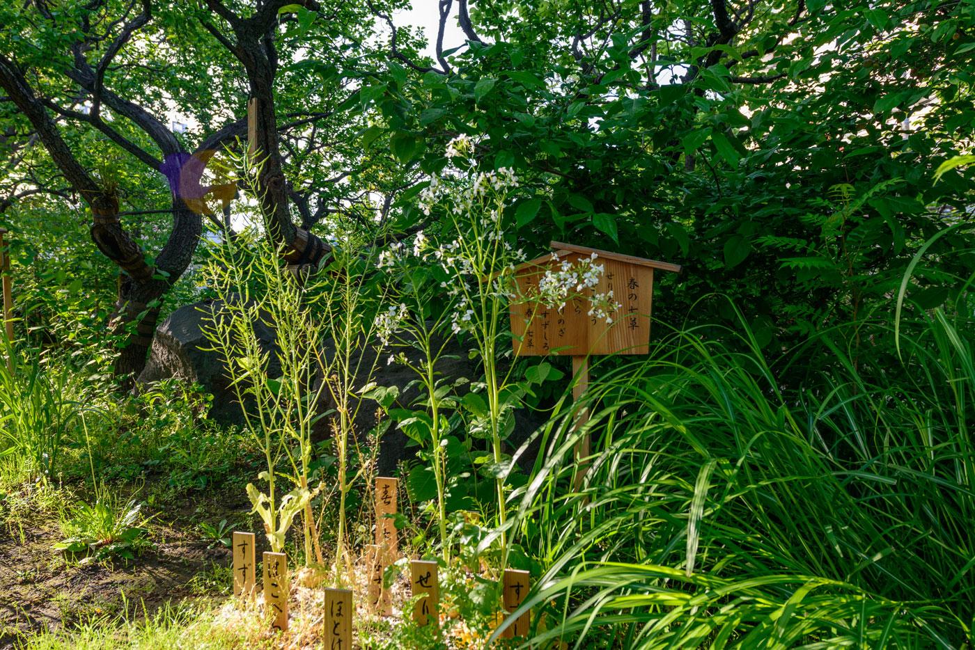 都立向島百花園6(春の七草)献上七草籠は明治時代からの習わしで毎年新春に皇室に献上されています)