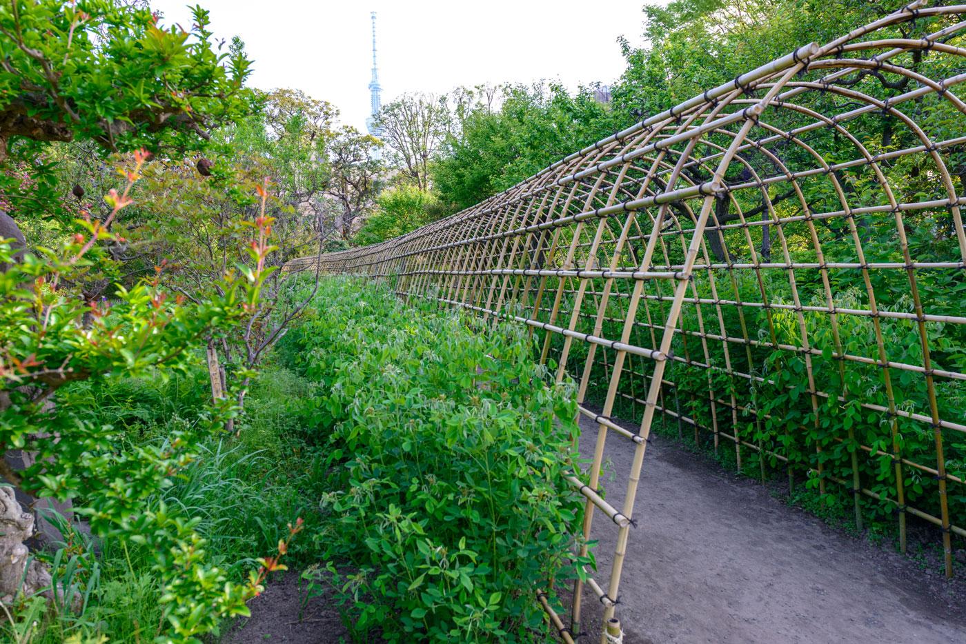 都立向島百花園9(萩のトンネル 30mにわたるお花のトンネルです)