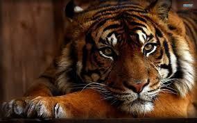 Mein Tiger - er kam 2014 zu mir , stehts an meiner rechten Seite.