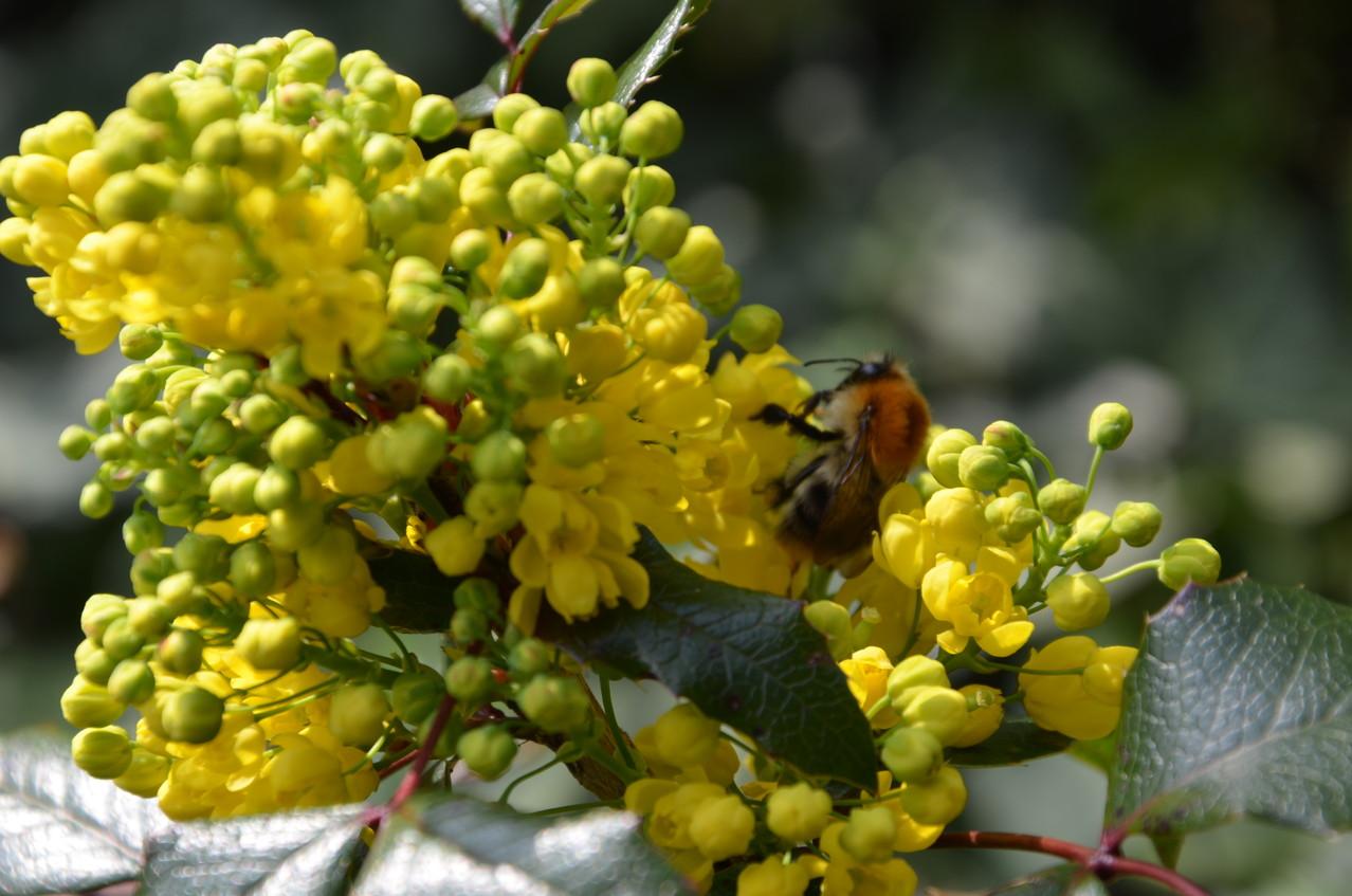 Gewöhnliche Mahonie (Mahonia aquifolium)