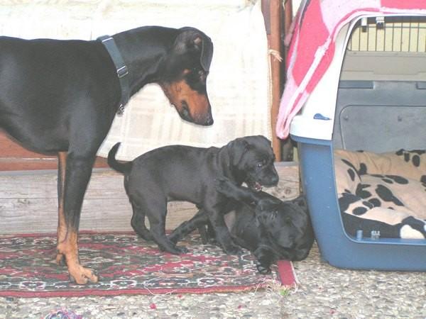 Barclay besucht die Padderdale-Terrier Welpen