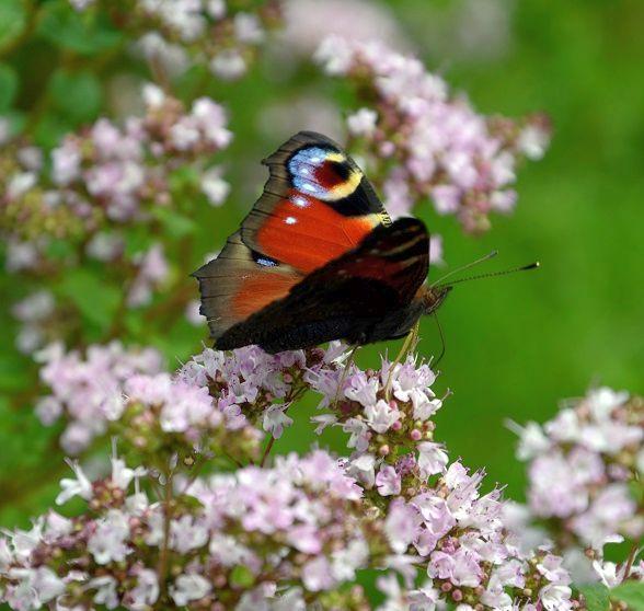 Tagpfauenauge auf Oregano-Blüten