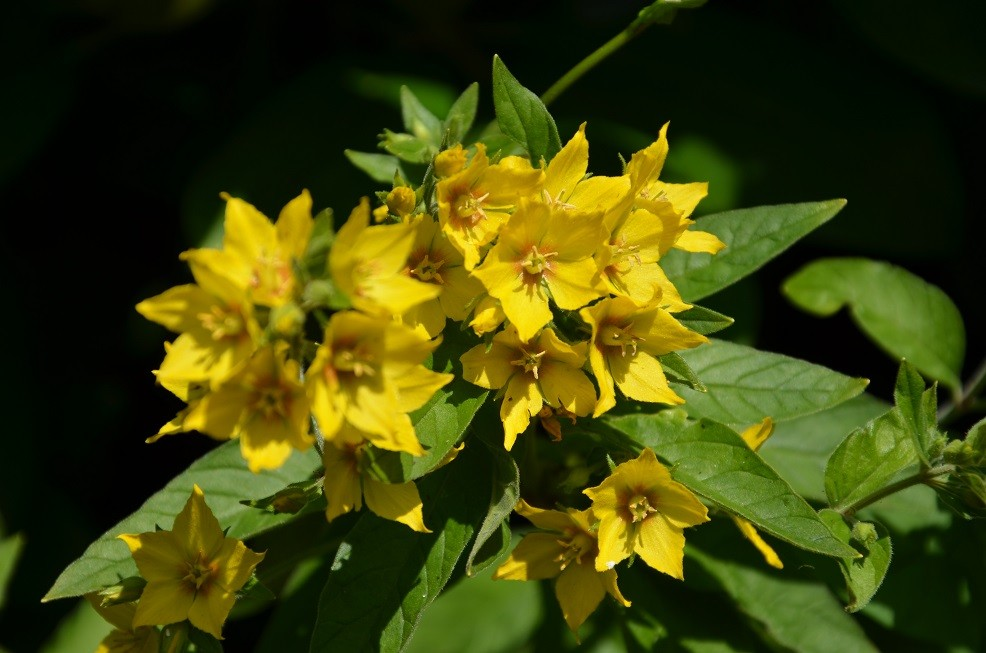 Goldfelberich (Lysimachia punctata)