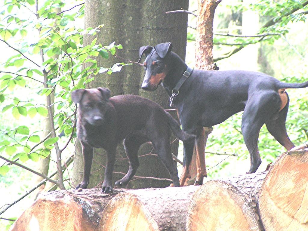 "Barclay und Padderdale-Terrier Hündin ""Lexi"""