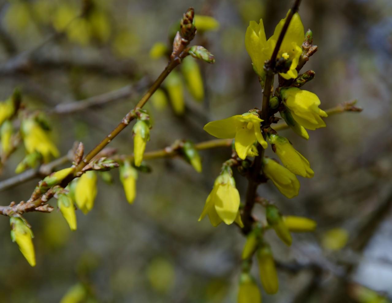 Forsythie kurz vor der Blüte