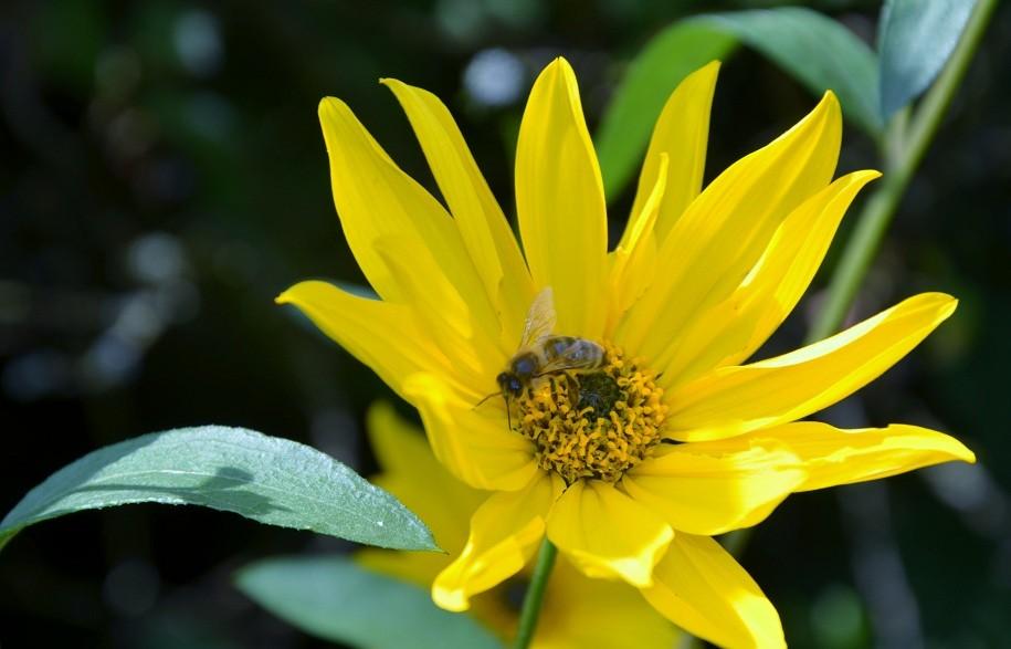 Topinambur (Helianthus tuberosus)
